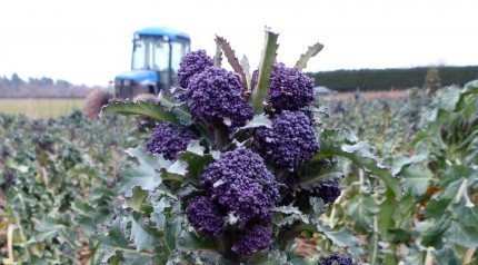 Perfect-purple-sprouting-broccoli-430