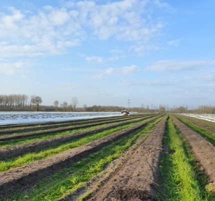L'Angevine fields planted with asparagus