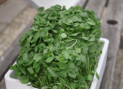 Pickering Watercress