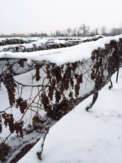 rsz_icewine_grapes_hanging_snowy_nets